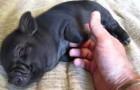 El adorable cerdito se hace mimar