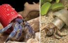 Voici des incroyables (et inquiétantes) images de bernard l'ermite qui vivent dans nos déchets