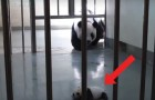 Tender reunion of a baby panda with its mother!