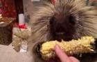 A talking hedgehog and his corncob
