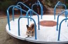 Deze Corgi wacht ongeduldig bij een carrousel: als zijn baasje de carrousel laat draaien, gaat het dier uit zijn dak!