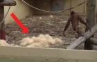 Un orango ammassa della paglia: il gioco che sta per fare ci fa capire la sua intelligenza