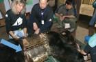 Dieser Bär hat jahrelang in einem Metallkäfig gelebt: Dies sind seine ersten Schritte in Freiheit
