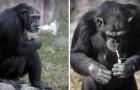 Fuma 20 sigarette al giorno: ecco la scimpanzé che è divenuta la