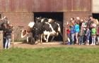 Estas vacas veem finalmente o céu depois de seis meses: veja como reagem!