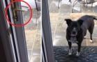 Der Hund will nicht reingehen: wenn ihr den Grund versteht, werdet ihr nicht aufhören zu lachen