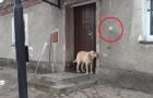 Han vill komma in men ingen öppnar: titta hur smart han är!