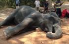 Vittime silenziose del turismo: un elefante collassa al suolo dopo una gita a 40°C