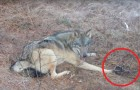 A trapped timber wolf is freed by a Forest Service ranger!