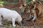 Tiger and dog are best friends !!
