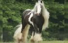 Een gevlekte vacht en manen van een recordlengte: de schoonheid van dit paard is werkelijk adembenemend!