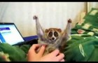 Piccolo loris vuole il solletico