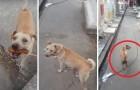 Esta cachorrinha pede comida para as pessoas: veja onde ela vai quando recebe o que queria...