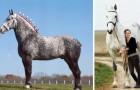 Questi cavalli si chiamano Percheron... e sono le creature più maestose che abbiate mai visto
