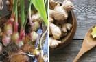 Vous aimez le gingembre ? Arrêtez de l'acheter : le cultiver à la maison, c'est simple et peu coûteux !