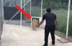 Watch this huge kitty cat play with its owner!