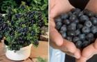 Wie ihr im eigenen Garten unendlich viele Blaubeeren ernten könnt