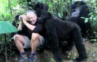 A man surrounded by wild gorillas