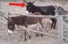 Een ezel probeert te ontsnappen: de ezel achter hem besluit om hem een handje te helpen!