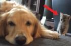 Deze hond ligt lekker te soezen en heeft niet in de gaten dat hij in de gaten wordt gehouden door een kitten...
