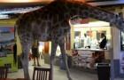 Una giraffa si prende un caffè: lungo grazie!