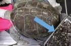 Rischiava di morire per una credenza popolare: rimosse 915 monete dal corpo di una tartaruga