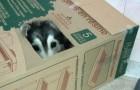 Ce Husky a été élevé par des chats et maintenant il pense être l'un d'eux