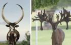 Cornes dignes de records: voici certaines des plus spectaculaires du règne animal