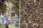 Le fantastiche proprietà dei semi di chia e come usarli per preparare una bevanda benefica