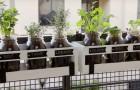 Culture à la maison d'herbes aromatiques: aussi pratique et belle, vous ne l'avez jamais vue
