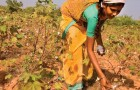 I contadini indiani voltano le spalle alla Monsanto e tornano a coltivare il cotone autoctono