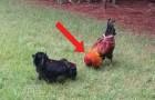 Dois galos começam a brigar: quando você ver quem chega para separar, vai morrer de rir!
