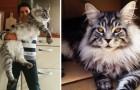 Enorme katten: 12 foto's om nog een keer in katzwijm te vallen voor hen (15 kg per stuk!)