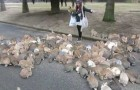 Girl vs Japanese Rabbits