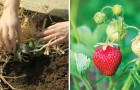 Expert advice and tips for growing your own delicious strawberries!
