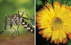 6 plantes anti-moustiques à avoir à la maison pour les éloigner naturellement