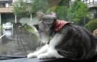 Es un dia lluvioso: el movimiento de los limpiaparabrisas sacara fuera de si al gato