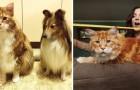 Ha il gatto più lungo del mondo e non lo sa: ecco le impressionanti misure del suo maine coon