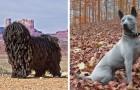 8 razze di cane esotiche di cui forse non avete mai sentito parlare