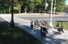 Een groep ganzen arriveert bij het stoplicht: maar wat ze dan doen maakt veel indruk op de voorbijgangers