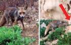 Elle donne à manger à une renarde... qui la remercie en lui faisant voir une adorable surprise