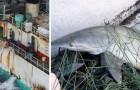 Une étude dévoile le massacre des requins: chaque année, l'homme en tue plus de 100 millions
