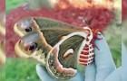 O maior exemplar de mariposa da América do Norte em toda a sua beleza!