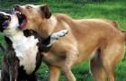 Una veterinaria ci illustra 6 metodi sicuri per fermare una lite tra cani