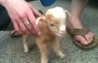Toute la sympathie des bébés chèvres en une seule vidéo: ils deviendront votre animal préféré!