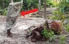 Il modo in cui questo piccolo orangotango cerca di attirare l'attenzione degli amici è esilarante