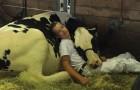Sie verlieren das Rennen und schlafen gemeinsam ein: Der Junge und seine Kuh werden auf einem Foto verewigt