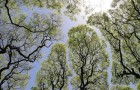 Les feuillages de ces arbres évitent mystérieusement de se toucher les uns des autres