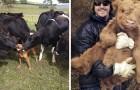 Queste adorabili fotografie di mucche vi faranno venire voglia di adottarne una