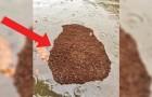 Uno sciame di formiche di fuoco galleggia nell'acqua: la loro prossima tana desta preoccupazione